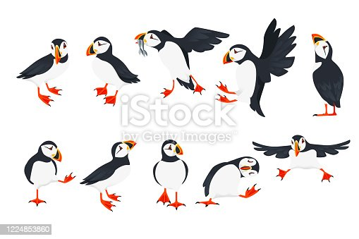 Set of atlantic puffin bird in different poses cartoon animal design flat vector illustration isolated on white background.