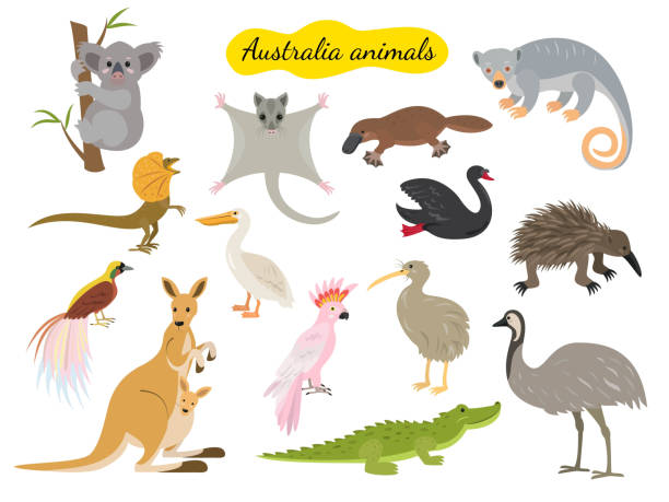Set of australia animals on white background. Set of australia animals on white background. Vector illustration. kangaroo stock illustrations