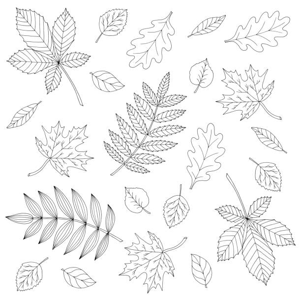 Set of autumn leaves, coloring page Set of different beautiful autumn leaves, coloring page for kids and adults exodus stock illustrations