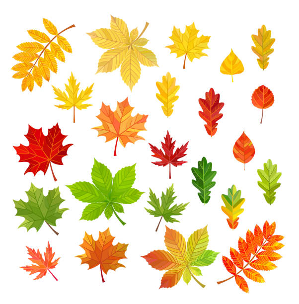 Set of autumn leaves isolated on white background. Vector illustration. Set of autumn leaves isolated on white background. Vector illustration. autumn leaf color stock illustrations