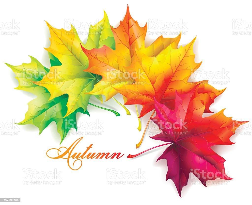 Set of autumn leaves of maple. – Vektorgrafik