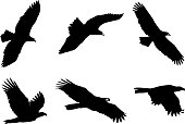 Set of immature Bald Eagle silhouettes, isolated on white background.