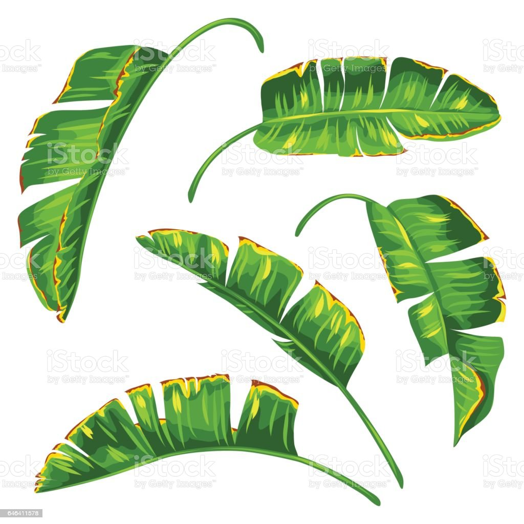 Set of banana palm leaves. Decorative tropical foliage vector art illustration