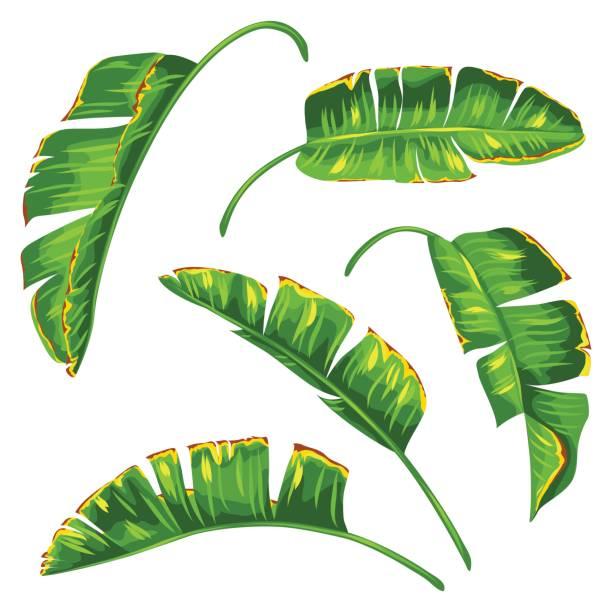 Set of banana palm leaves. Decorative tropical foliage vector art illustration