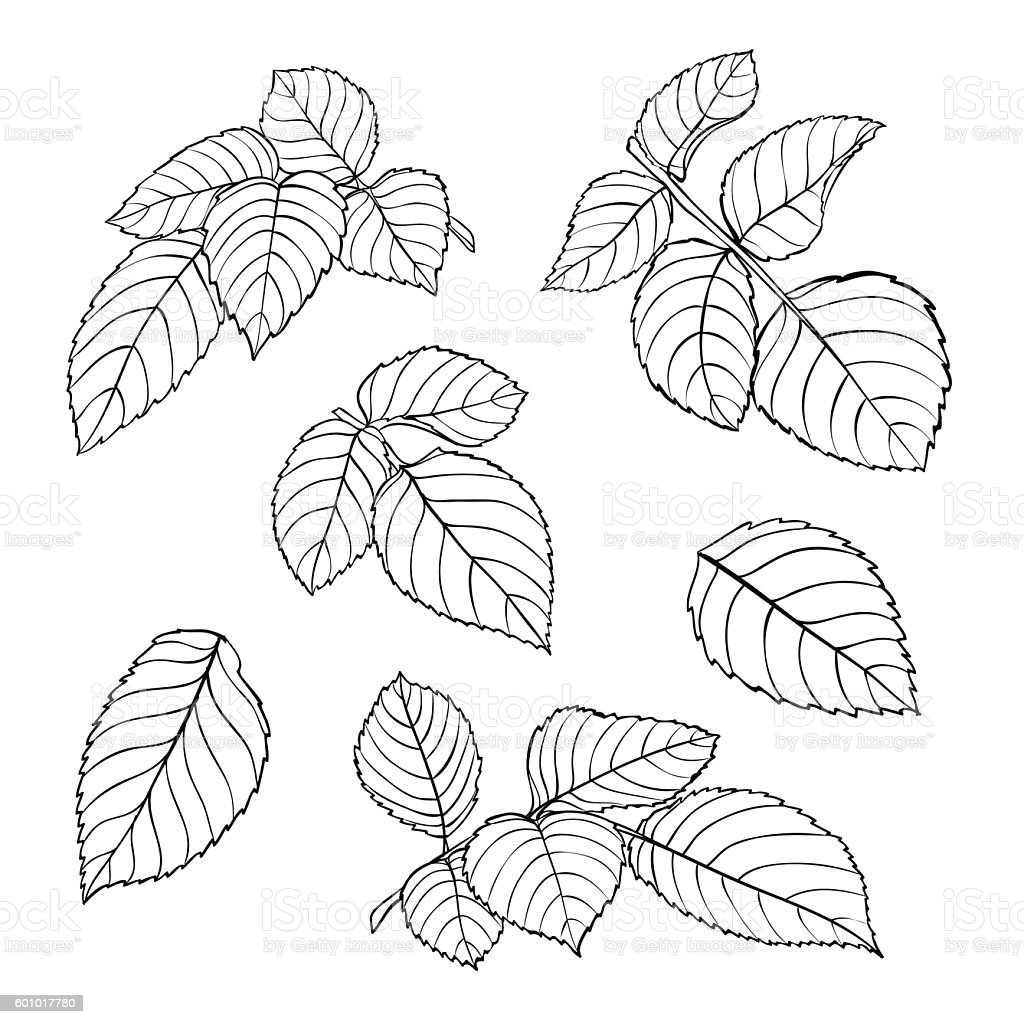 This is an image of Exceptional Rose Leaf Drawing