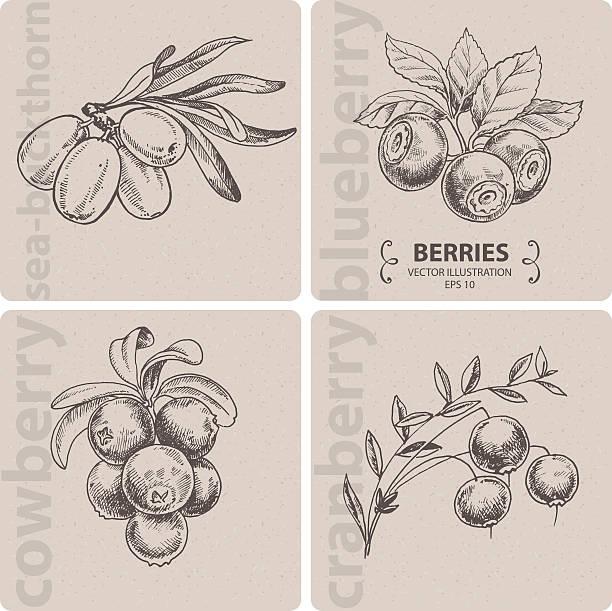 illustrazioni stock, clip art, cartoni animati e icone di tendenza di gruppo di frutti di bosco-cranberry, mirtillo, uva di monte e mare-ranno lanterno. - mirtilli