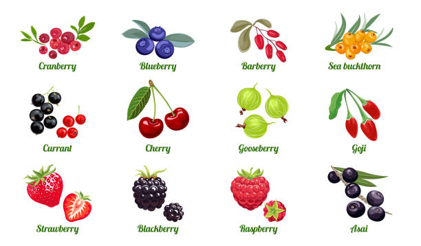 Set of berries isolated on white background. Raspberry, Blackberry, Strawberry, Gooseberry, Cherry, Currant, Sea buckthorn, Blueberry, Cranberry, Acai, Goji, Barberry. Vector flat illustration. Set of berries isolated on white background. Raspberry, Blackberry, Strawberry, Gooseberry, Cherry, Currant, Sea buckthorn, Blueberry, Cranberry, Acai, Goji, Barberry. Vector flat illustration. berry fruit stock illustrations