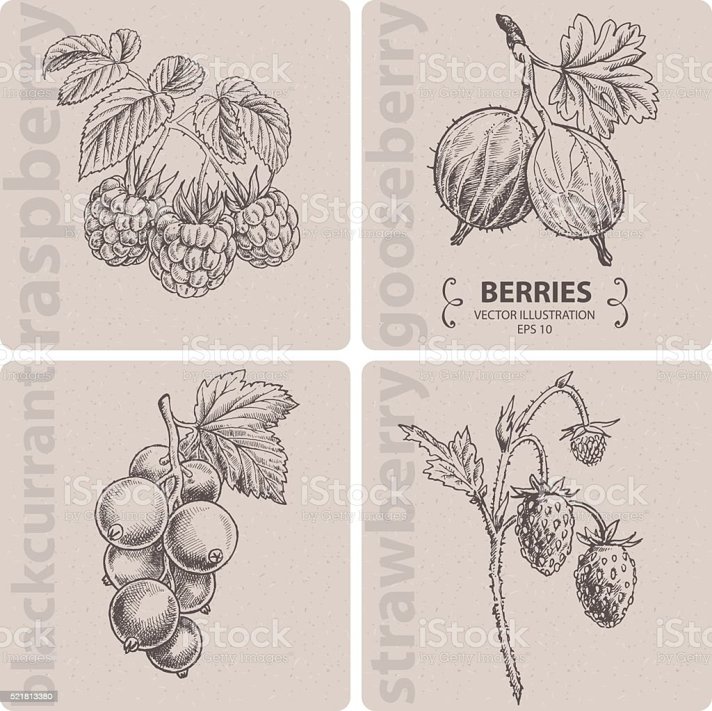 Set of berries - Strawberry, Raspberry, Gooseberry and Currant. vector art illustration