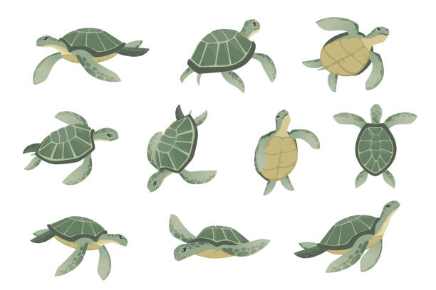 Set of big green sea turtle cartoon cute animal design ocean tortoise swimming in water flat vector illustration isolated on white background Set of big green sea turtle cartoon cute animal design ocean tortoise swimming in water flat vector illustration isolated on white background. turtle stock illustrations