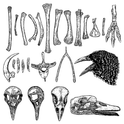 Set of bird skeleton bones and skulls for magic cult , wishbone, arm, wing, leg, spine ring, rib, claw, nail. Hand drawing. Witch and warlock sketch magician collection. Raven, crow head. Vector.