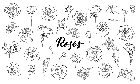 set of black and white outline roses, buds and leaves. Floral contour isolated on white background. design greeting card and invitation of the wedding, birthday, Valentine s Day, mother s day, holiday