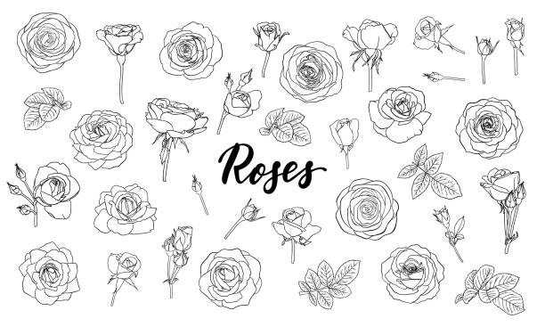 set of black and white outline roses, buds and leaves. Floral contour isolated on white background. design greeting card and invitation of the wedding, birthday, Valentine s Day, mother s day, holiday set of black and white outline roses, buds and leaves. Floral contour isolated on white background. design greeting card and invitation of the wedding, birthday, Valentine Day, mother s day, holiday flowers tattoos stock illustrations