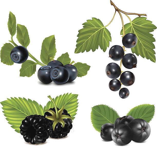 Set of black berries with leaves. Photo-realistic vector illustration. Set of black berries with leaves. black currant stock illustrations