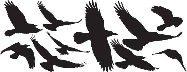 Set of black isolated silhouettes with crows vector art illustration