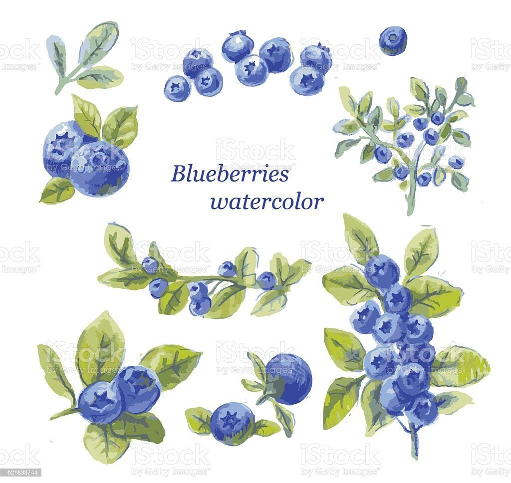 set of blueberry watercolor drawing by hand, vector illustration vector art illustration