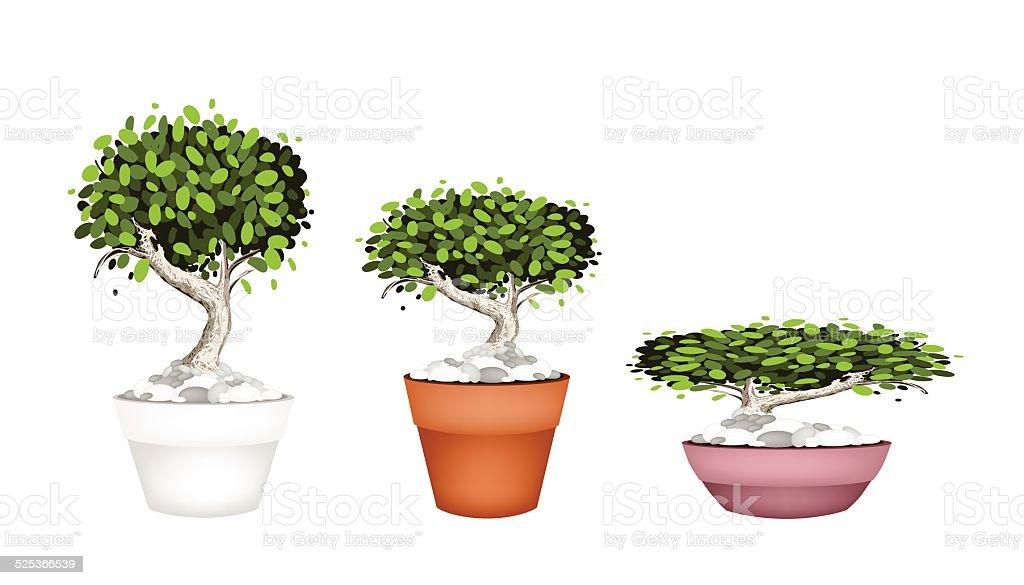 Set of Bonsai Tree in Ceramic Pots vector art illustration