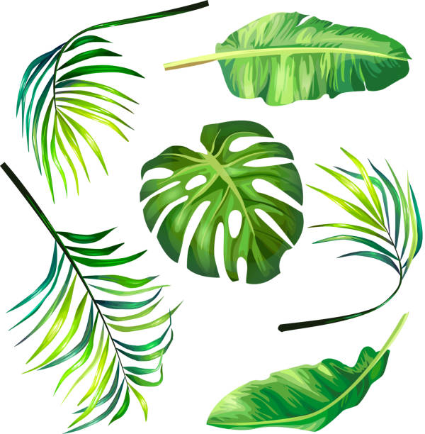 set of botanical vector illustrations of tropical palm leaves in a realistic style. - palm leaf stock illustrations, clip art, cartoons, & icons