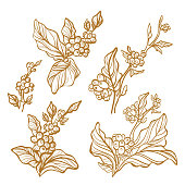 Vector set of natural coffee branch with leaf, bean. Fresh food. Floral hand draw art line illustration on white background. Organic aroma drink. Vintage gold sketch isolate
