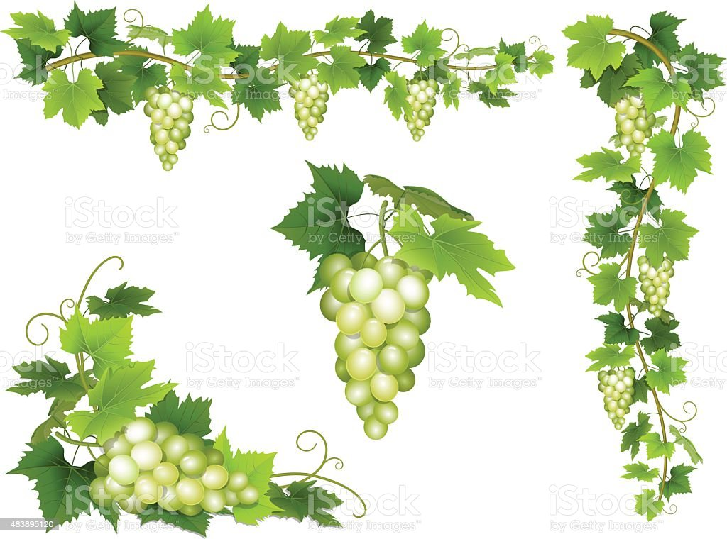 Set of bunches of white grapes. vector art illustration