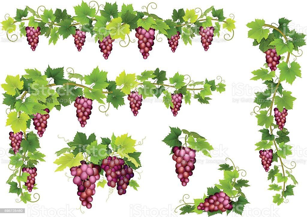 Set of bunches red grapes vector art illustration