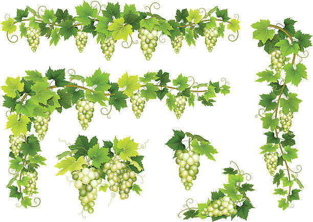 set of bunches white grapes - マスカット イラスト点のイラスト素材/クリップアート素材/マンガ素材/アイコン素材