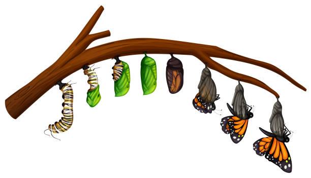 나비 수명 주기 세트 - 누에고치 stock illustrations