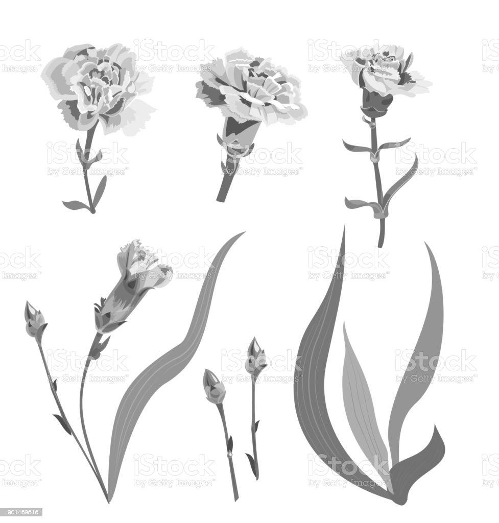 Karanfil Schabaud Tek Renkli Gri Tonlama çiçekler Tomurcukları Kök