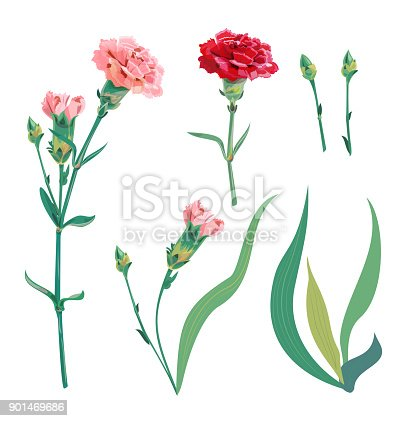 Set of carnation schabaud, pink, red flowers, buds, green stem, leaves on white background, collection for Mother's Day, Victory day, digital draw, vintage illustration, vector