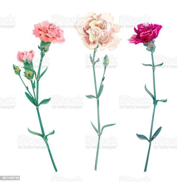 Set of carnation schabaud white pink red flowers buds green stem on vector id901469748?b=1&k=6&m=901469748&s=612x612&h=jd hmzvkhgpwjvgkka5s2xi1g0nmwlfv67djrhjk290=