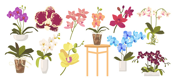 Set of Cartoon Blooming Orchids, Flowerpots, Leaves and Stems. Domestic Blossoms Isolated on White Background. Tropical Beautiful Flora, Different Orchids Design Elements. Vector Illustration