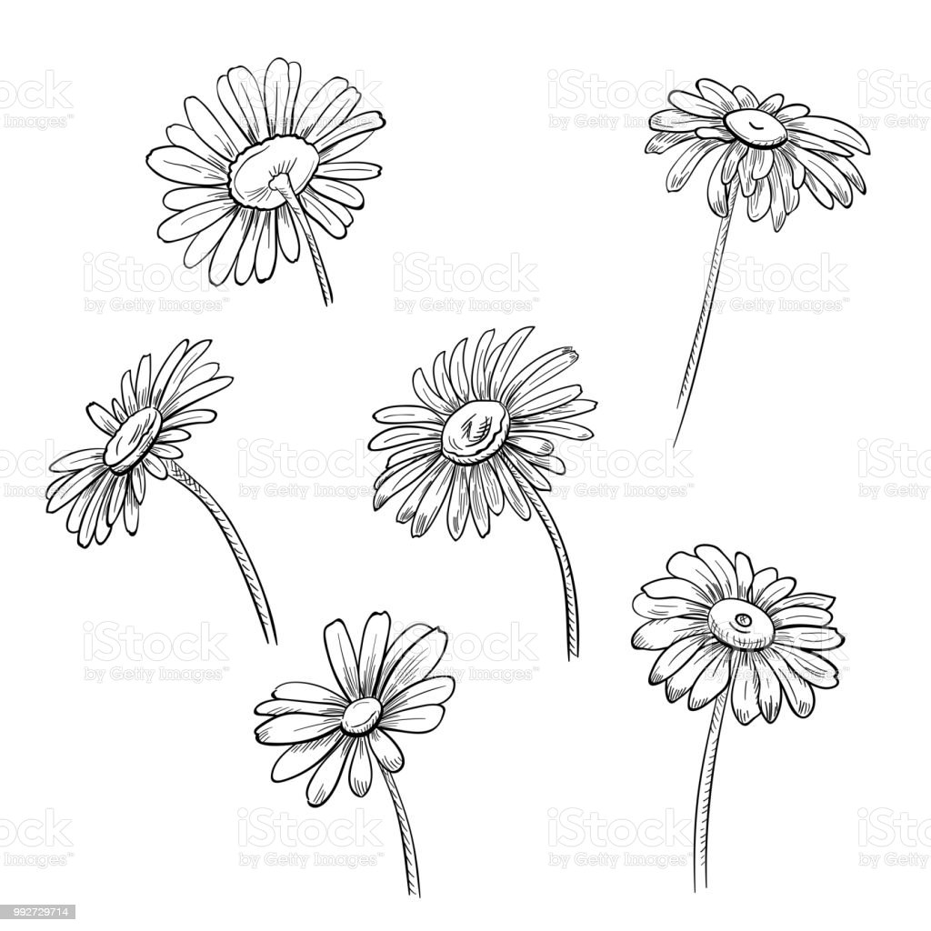 Set Of Chamomile Black And White Monochrome Flowers Realistic