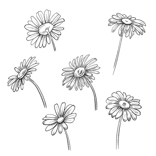Set of Chamomile (Daisy), black and white monochrome flowers, realistic botanical sketch on white background for design, hand draw in engraving vintage style, etching, stamp for embossing, vector Set of Chamomile (Daisy), black and white monochrome flowers, realistic botanical sketch on white background for design, hand draw in engraving vintage style, etching, stamp for embossing, vector chamomile plant stock illustrations