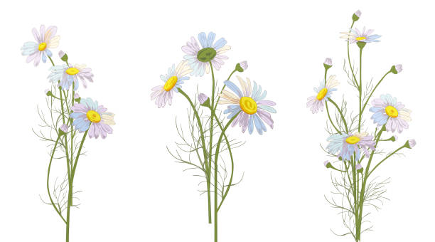 Set of Chamomile (Daisy) bouquets, white flowers, buds, green leaves, stems. Realistic botanical sketch on white background for design, hand draw illustration in vintage style, vector Set of Chamomile (Daisy) bouquets, white flowers, buds, green leaves, stems. Realistic botanical sketch on white background for design, hand draw illustration in vintage style, vector chamomile plant stock illustrations