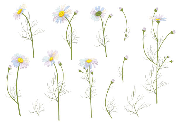 Set of Chamomile (Daisy), white flowers, buds, green leaves, stems. Realistic botanical sketch on white background for design, hand draw illustration in vintage style, vector Set of Chamomile (Daisy), white flowers, buds, green leaves, stems. Realistic botanical sketch on white background for design, hand draw illustration in vintage style, vector daisy stock illustrations