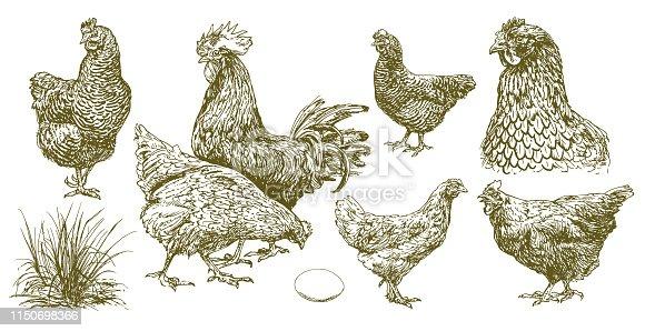 Set of chicken, hand drawn illustration.