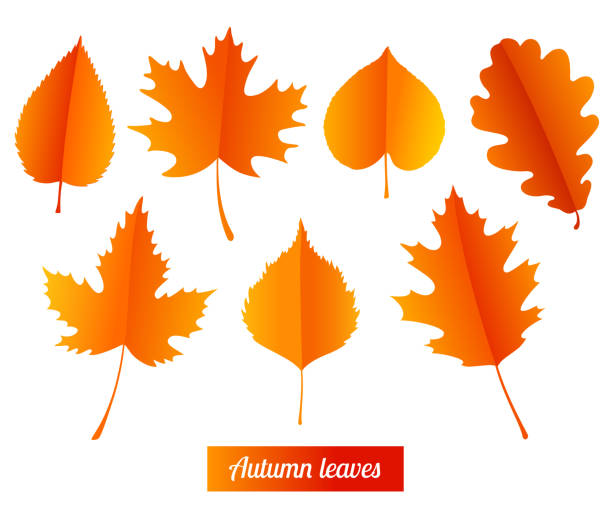 Set of colorful autumn leaves. Set of colorful autumn leaves on white background. autumn leaf color stock illustrations