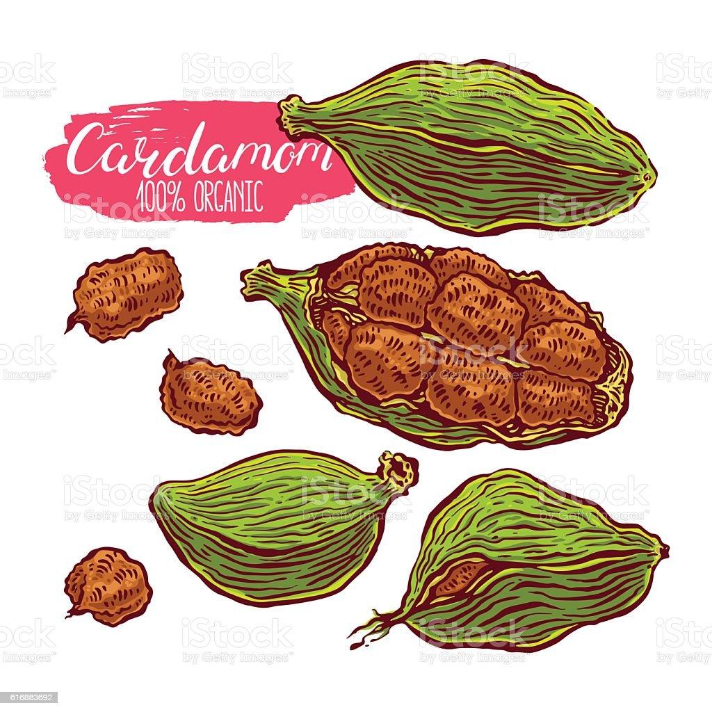 set of colorful cardamom vector art illustration