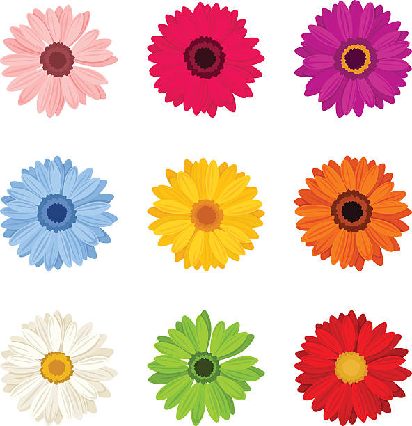 Set of colorful gerbera flowers. Vector illustration. Vector set of nine colorful gerbera flowers isolated on a white background. daisy stock illustrations