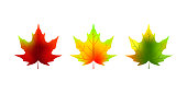 Set of colorful realistic autumn maple leaves isolated on white. Vector illustration