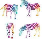 Set of colorful zebra.