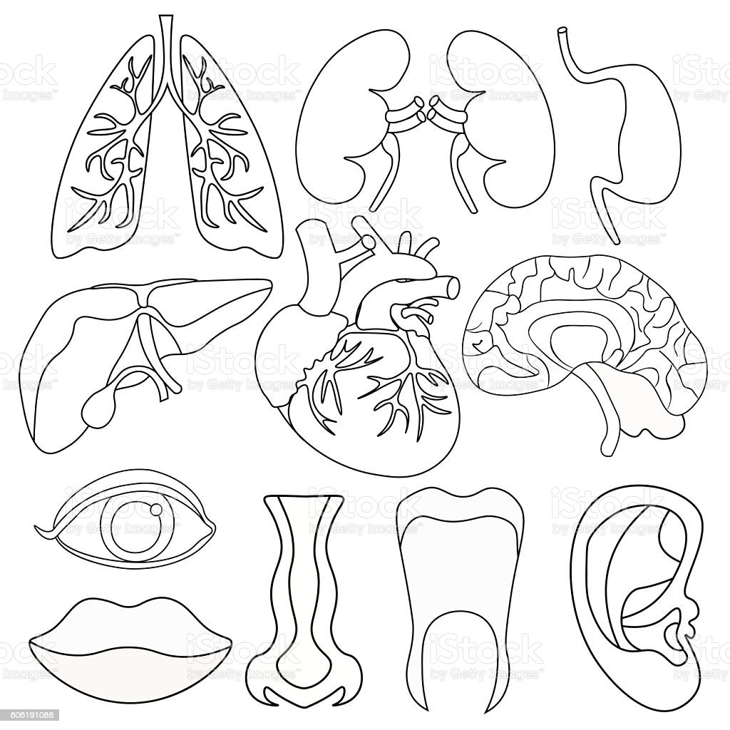 Set Of Coloring Human Organs Inside Body And Face Vector Stock ...