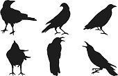 istock Set of crow vector on white background. 984242832