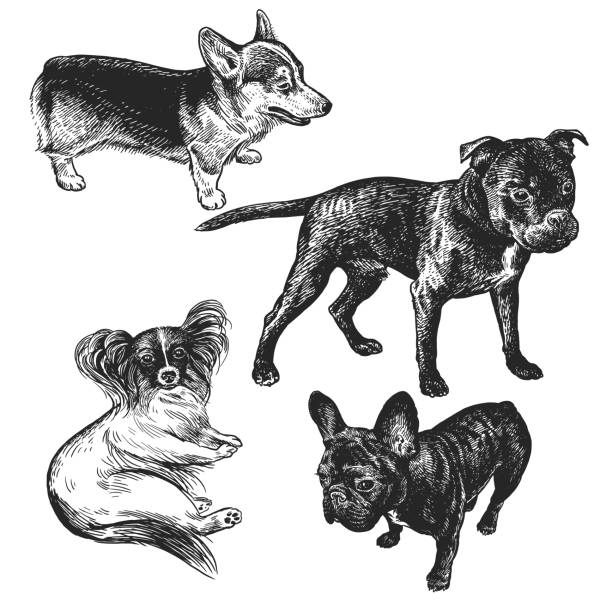 Set of cute puppies. Home pets isolated on white background. Papillon, French Bulldog, Staffordshire Bull Terrier, Corgi Cute puppies set. Home pets isolated on white background. Sketch. Vector illustration art. Realistic portraits of animal. Vintage. Black and white hand drawing of dogs. animal stage stock illustrations
