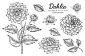 istock Set of Dahlia flower and leaf hand drawn botanical illustration with line art on white backgrounds. 1264947338