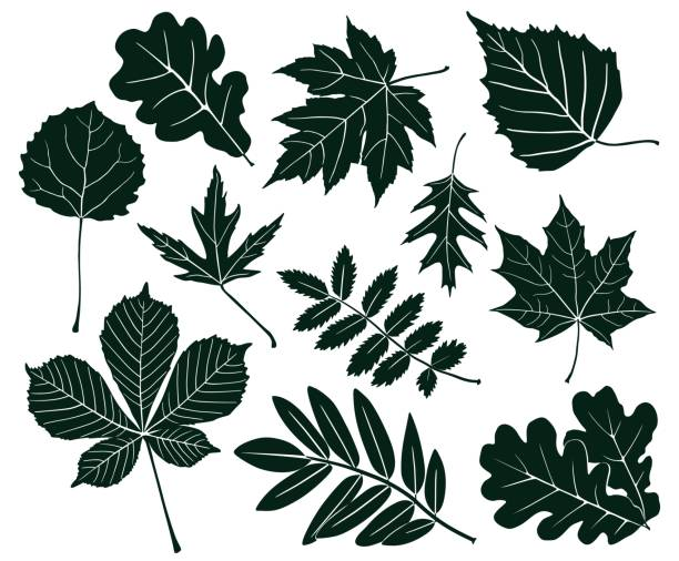 Set of dark silhouettes of leaves of various shapes. Vector illustration Vector collection of silhouettes of maple leaves, chestnut, aspen, oak, mountain ash, birch isolated on white background. oak leaf stock illustrations