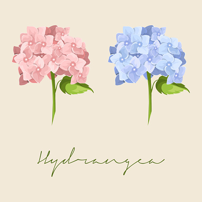 Set of Different blue and pink Hydrangea macrophylla, Hydrangea Flower Botanical Colourful vector illustration