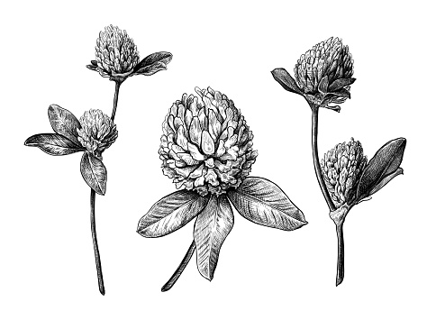 Set of different hand drawn flowers and leaves of clover