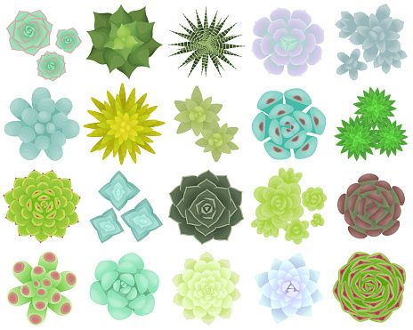 Set of different types of succulents. The view from the top. Isolated plants on a white background.