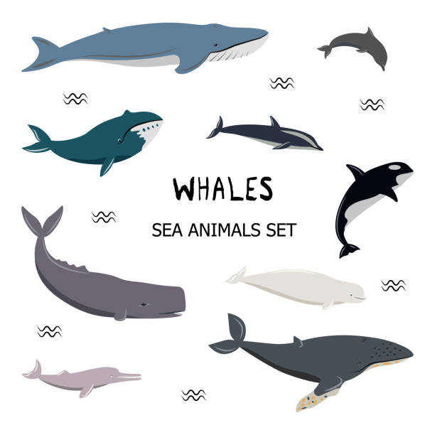 Set of different whales. Vector illustration. Set of cartoon whales, dolphins. Blue, white-sided, beluga, bottlenose, bowhead, cachalot, humpback, killer, river dolphin. Simple icons for different designs. beluga whale stock illustrations
