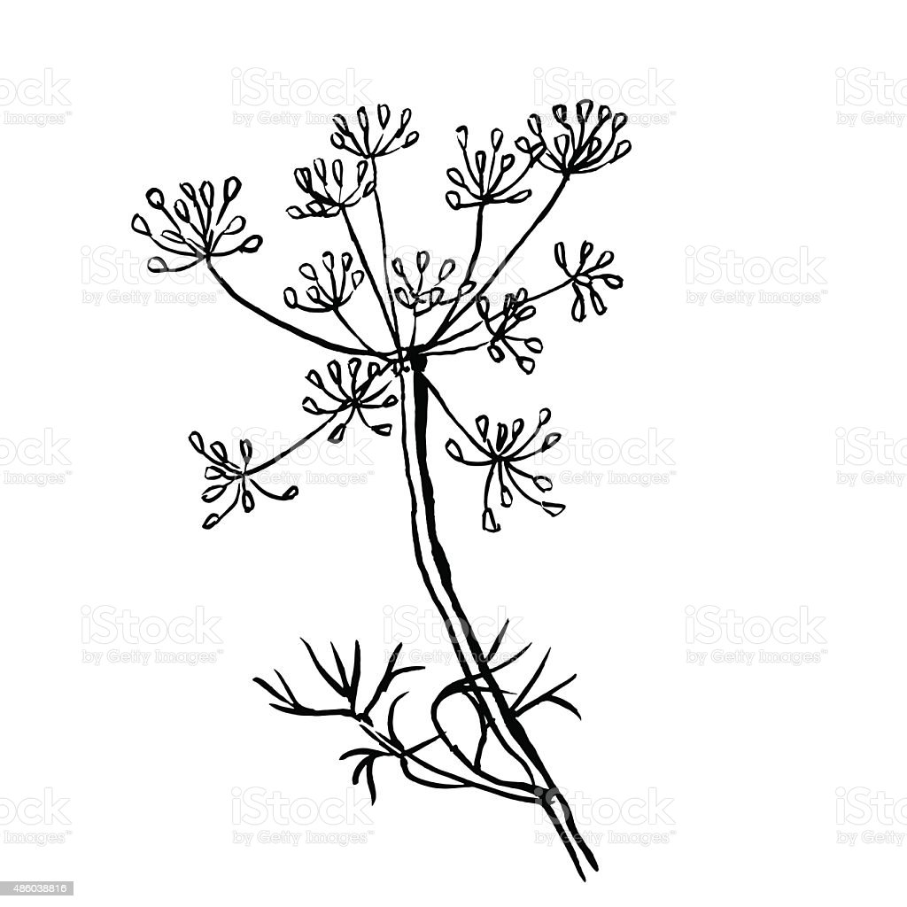 Set of dill  isolated on white background. Hand drawn vector vector art illustration